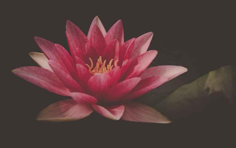 aquatic plant beautiful bloom blossom